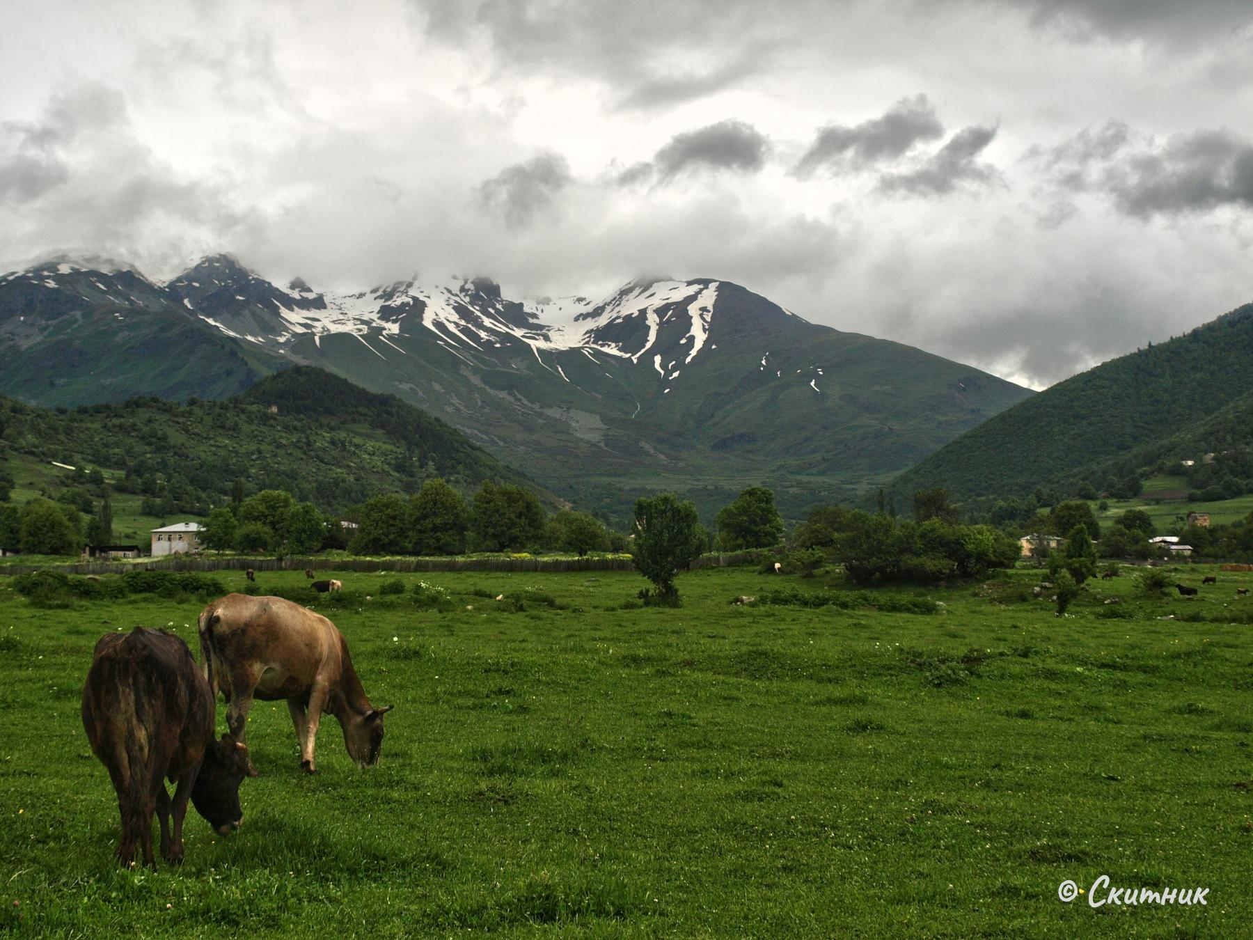 Крави в Мазери