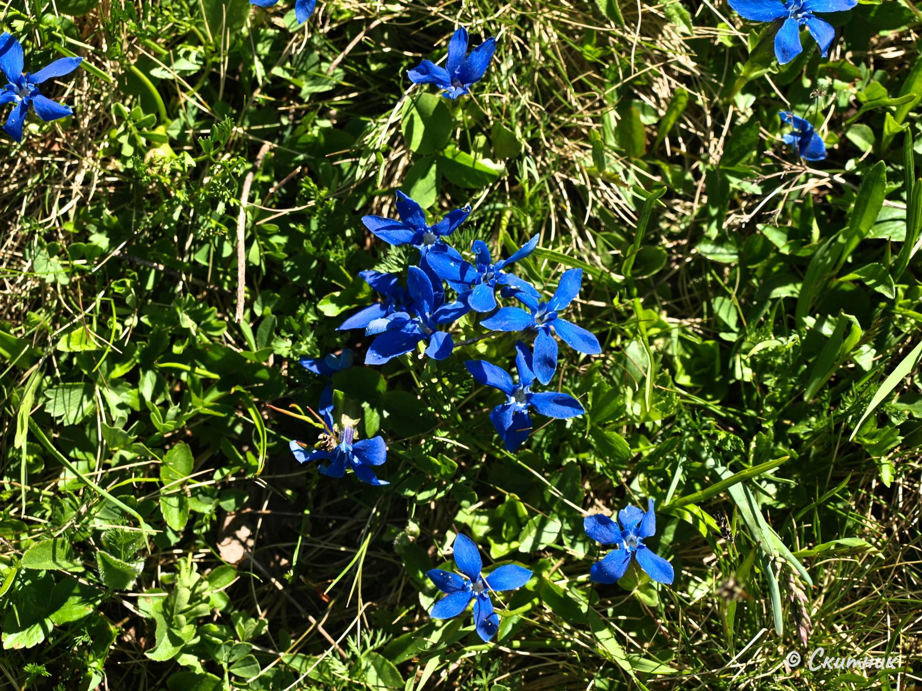 пролетна тинтява