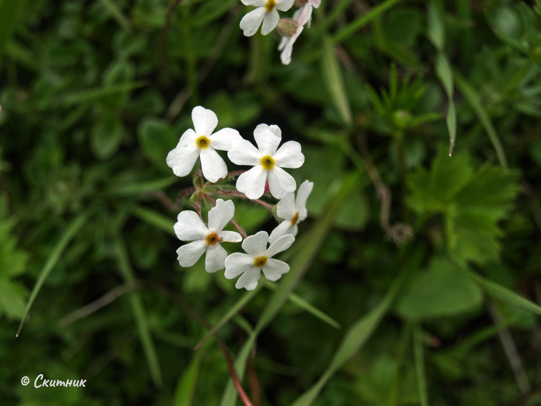 цветя над Ушгули