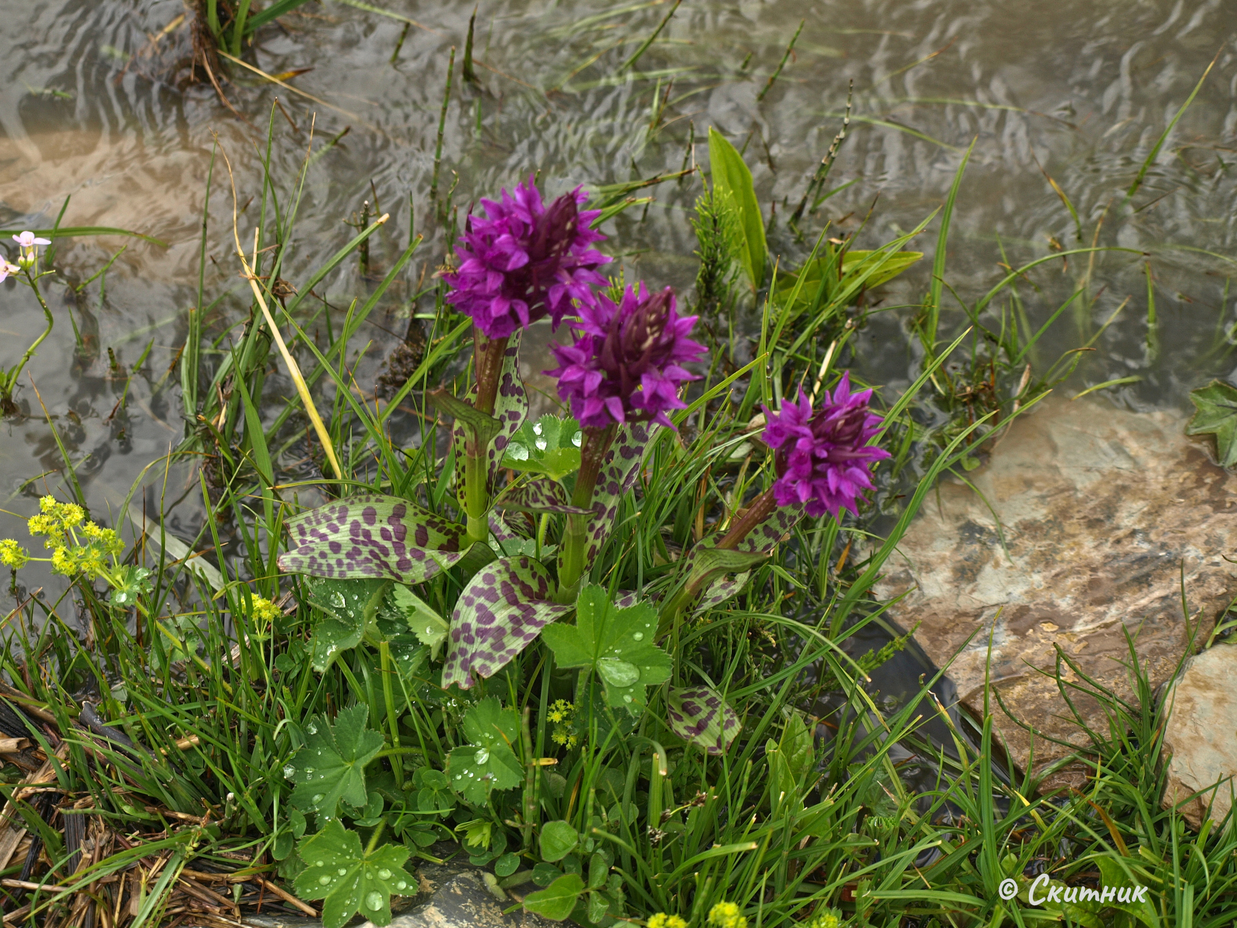 орхидеи под Шкхара